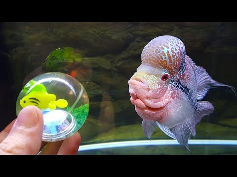 7 Months of Flowerhorn Growth and Playing with House Cat Curry