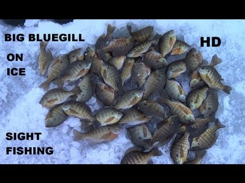 SIGHT FISHING BIG BLUEGILL ON ICE