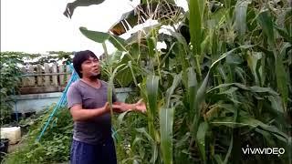 Harvesting Purple and Supersweet Yellow corn