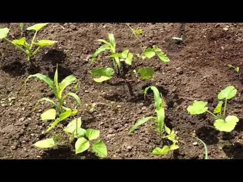 How to Grow the 3 Sisters Garden