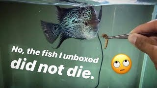What's up with the FLOWER HORN fish I UNBOXED a while back? ~ CLEANING TIME !!!