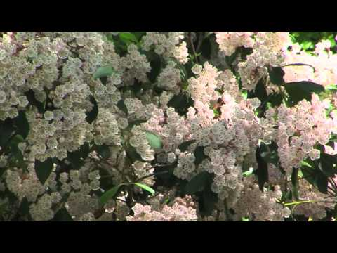 The Beauty of Mountain Laurel