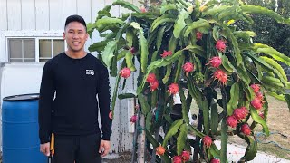 Very Last Vietnam White Dragon Fruit Harvest