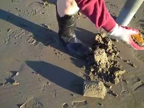 Razor clam dig Gearhart Oregon
