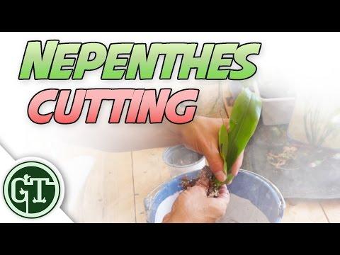 Nepenthes Cuttings & Carnivoria.eu Update - Nep Vlog 3