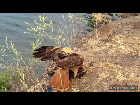 Redtail Hawk has dinner lakeside