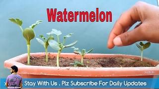 गमले में तरबूज कैसे लगाए / How to Grow watermelon In pot with Update / Mammal Bonsai