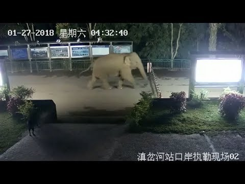 Wild Asian Elephant Takes China Laos Border Tour