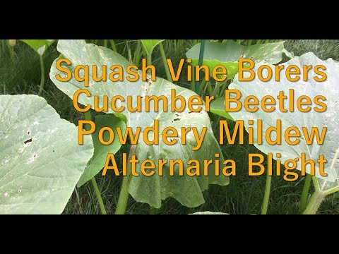 Fighting Pumpkin Pests & Diseases - How to Grow Pumpkins - Summer 2017, Episode 7
