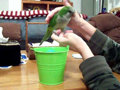 Baby Quaker Parrot SHEENA  Teaching Her To Play