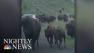 Download Family Driving Through Yellowstone Caught In Bison Stampede | NBC Nightly News Video