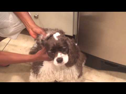 How to clean a dog's ear in details with a natural cleaning solutions