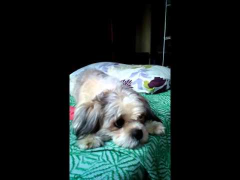 How To Calm An Angry Shih tzu?