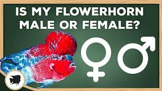 Flowerhorn Female tube