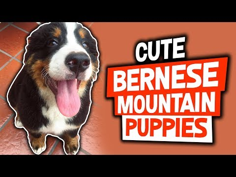 Cute Bernese Mountain Dog Puppies Compilation