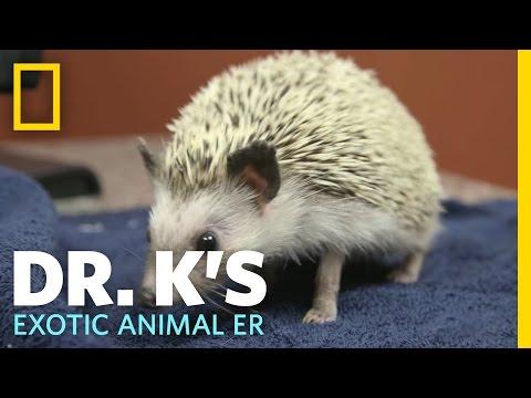 Helping a Hedgehog | Dr. K's Exotic Animal ER