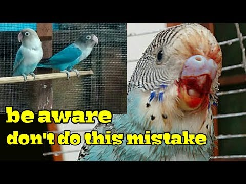 Budgie care - never  keep love birds with budgies( in Hindi/Urdu and English)