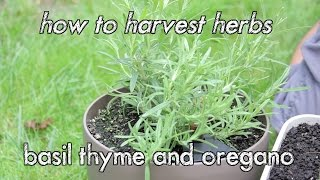 How To Harvest Herbs Basil Thyme And Oregano