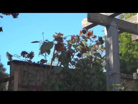 Squirrel Stealing Sunflowers