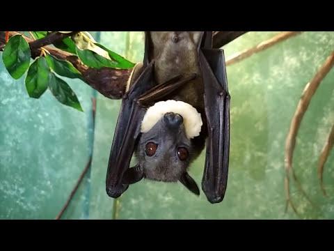 Fruit Bats Love Bananas!