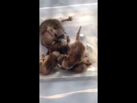 What baby raccoons sound like