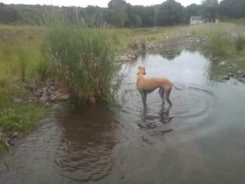Saluki Greyhound Lost Rabbit...Underwater?