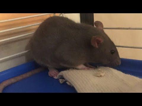 New pet rats