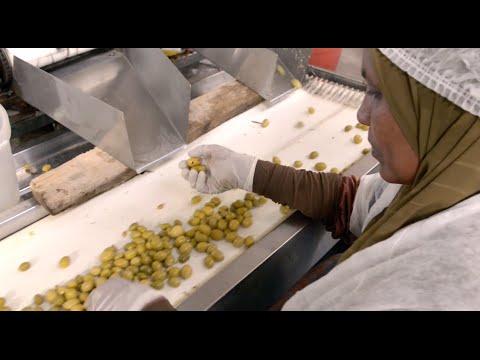 Egyptian olives: adopting international standards