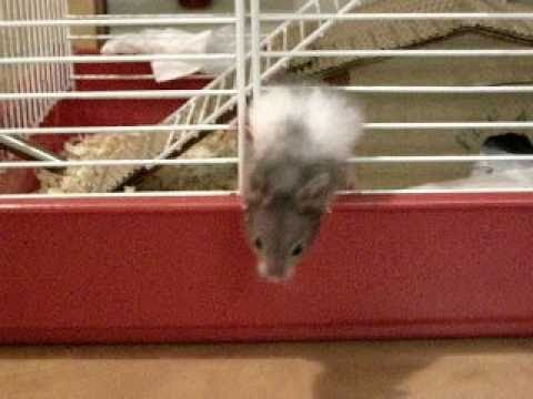 Hamster escaping his cage