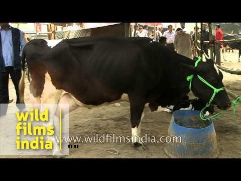Udders milk-laden and bursting at the seams: fat cow in India!