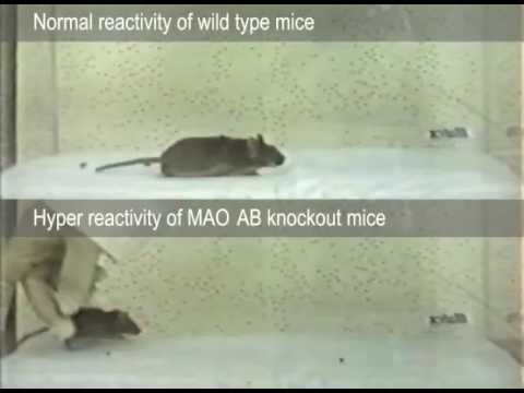 Hyper-reactive MAO double knockout mice