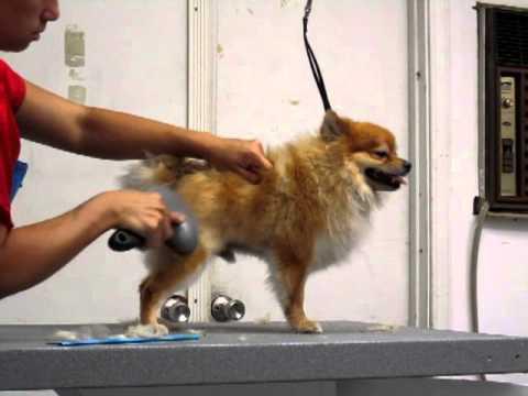 How to Brush your dog Properly Pomeranian