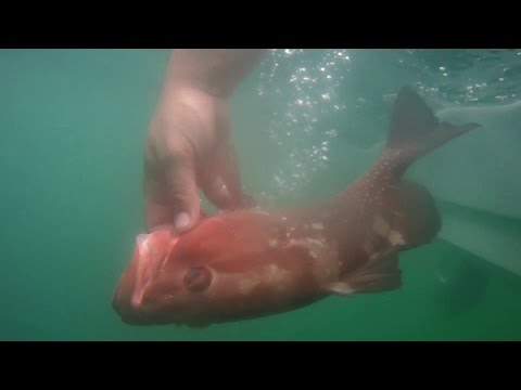 Non Stop Red Grouper -Time to Regroup off Saint Petersburg
