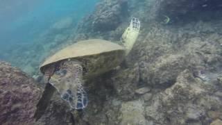 Maui Napili Bay Beach Sea Turtle