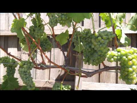 Training grape vines.From Beginning To Canopy.pt6
