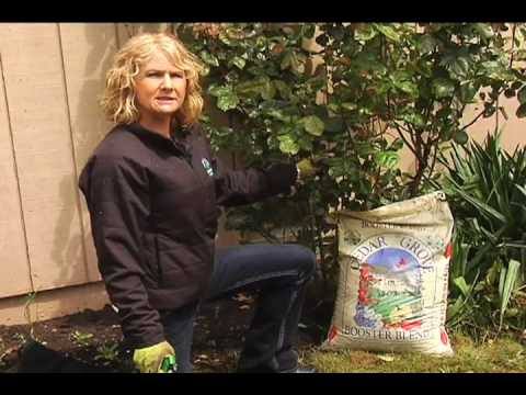 Growing Healthy Roses with Cedar Grove Composting's Booster Blend