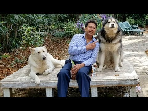 Sheru & Bruno Eating Multi Vitamin & Chicken Jerky | Alaskan Malamute | German Shepherd