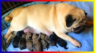 Pug Dog Breeds Giving Birth And Pregnant Seven Puppies