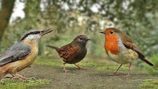 Vidéos Pour Les Chats à Surveiller - Petits Oiseaux