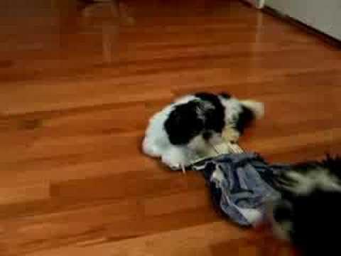 Glue Trap Puppy