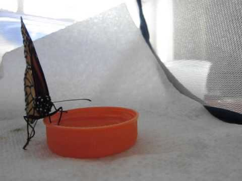 Handing Feeding Monarch Butterflies