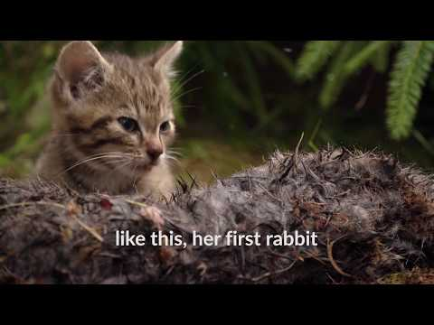 Scottish Wildcat kittens, cute orphan wild cats rescued by Wildcat Haven