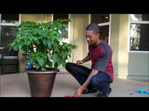 Trinidad Seasoning Pepper Harvesting & Growth Rate