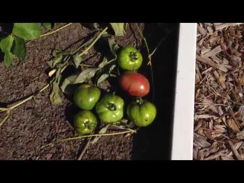 Week 16: Tomato Overflow Fixed - Container Gardening Season 8