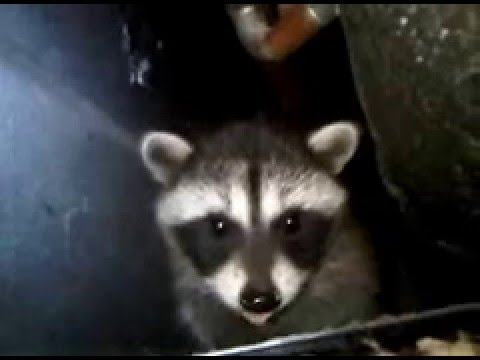 Raccoon cries. Baby raccoon abandoned by mother under bathtub