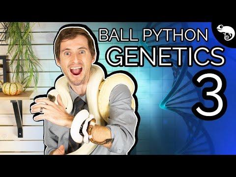 Ball Python Genetics 3: Single Gene Crosses