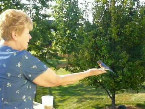 Hand Feeding Eastern Bluebirds
