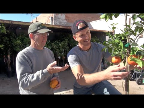 Planting a Murcott Tangerine Tree at Home!  DELICIOUS Citrus Tree!