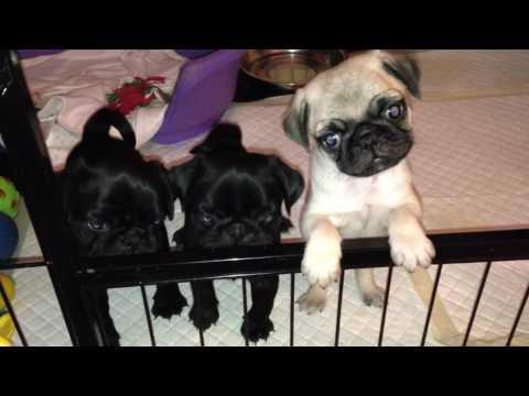 Keetarose pug puppies- making noise