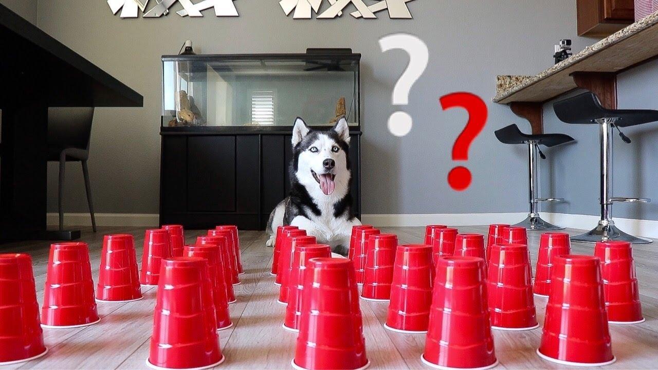 How Smart is a Siberian Husky? Ultimate Intelligence Test!